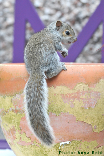 Photo of one of Prof. Acorn's Grey Squirrel friends